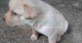 Labrador dog Male