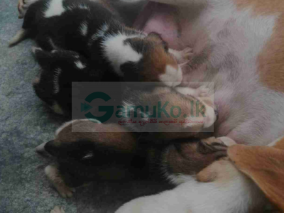 BEAGLE PUPPIES FOR SALE